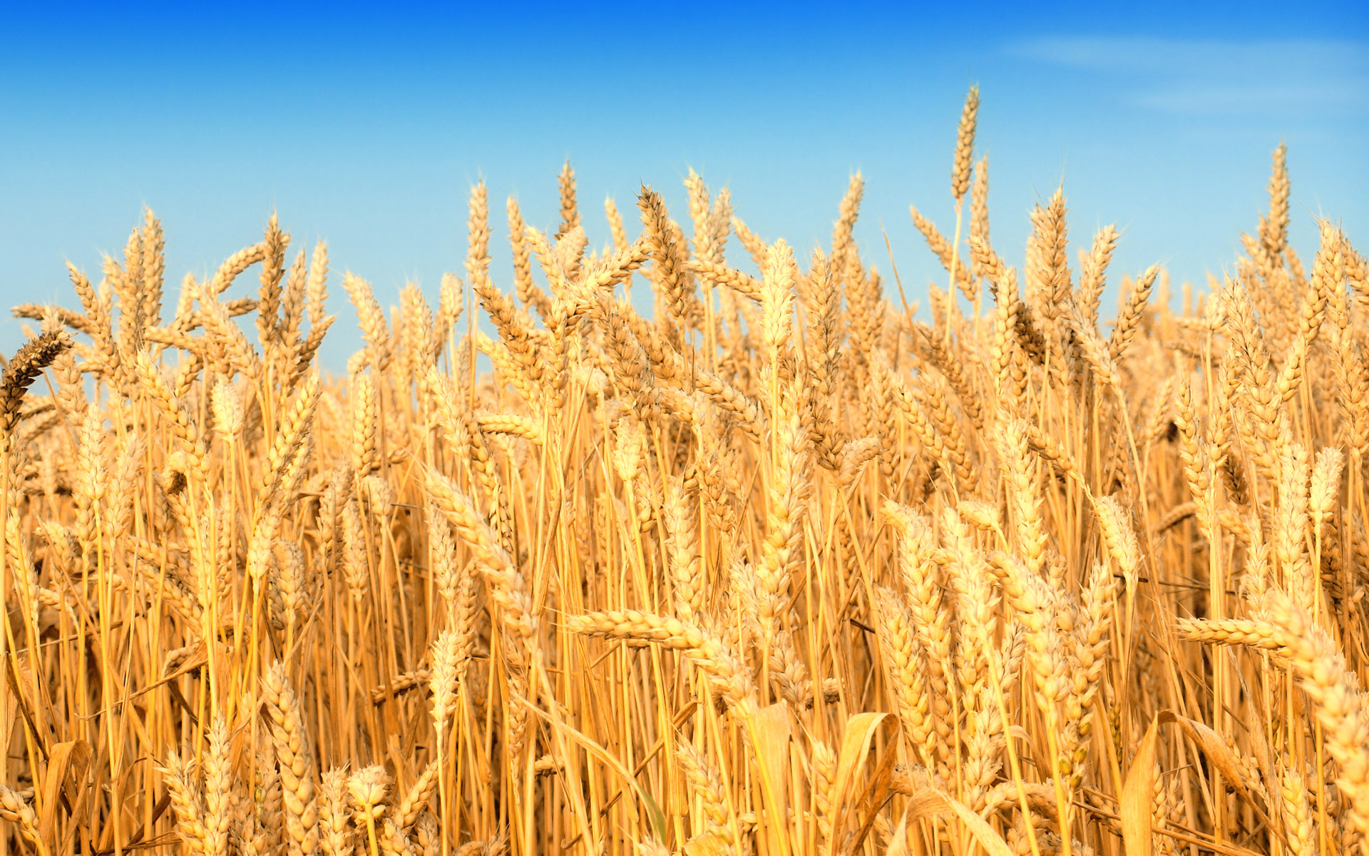 wheat_buza