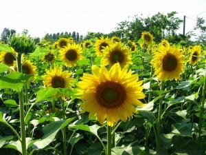 sunflower_napraforgo