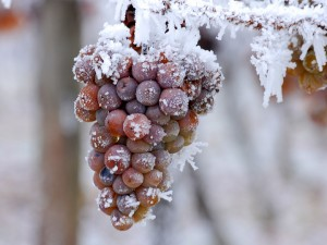ice-wine-eiswine-Winederlusting_com